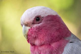 Eolophus roseicapilla / Galah cockatoo / Розовый какаду / Rosa kakadue