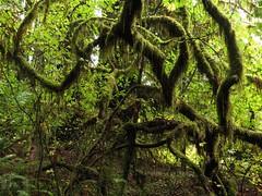 Stout Grove giant redwoods (cactusbones) Tags: giant redwood trees ferns moss stoutgrove california 2016