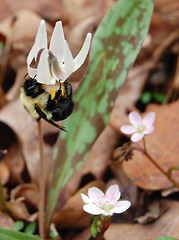 bee_on_trout_lily