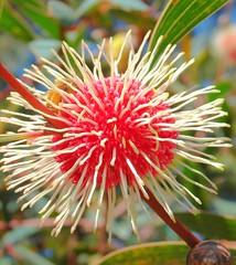 Aussie Easter Egg -Hakea petiolaris - by aussiegall