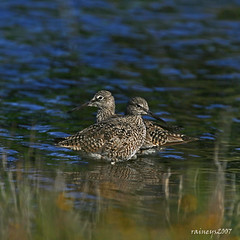 A Fine Romance (raineys) Tags: santacruz nature birds wildlife willet calfiornia supershot specanimal animalkingdomelite abigfave supershots anawesomeshot colorphotoaward diamondclassphotographer