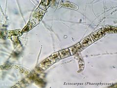 Ectocarpus 2 (Ricardo Rico) Tags: algas phaeophyceae