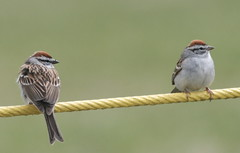Chipping sparrows - by Henry McLin
