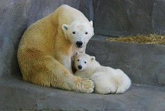 Arki and her cub (Hudson) (Simba on 17th) Tags: bear cub polarbear bearcub brookfieldzoo whitebear naturesfinest arki polarbearcub