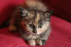 Snickers (mandrake68) Tags: baby cute cat kitten tortoiseshell tortie