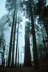 Tree Cathedral (Andrew Luyten) Tags: california usa mist tree silhouette forest redwood sequoia sequoianationalpark sequoiadendrongiganteum 1on1landscapes 1on1landscapesphotooftheday abigfave superbmasterpiece beyondexcellence 1on1landscapesphotoofthedayjune2007 pfevergreen primevalforestgroups pffog pfcathedral