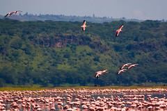 070520-178 Kenya - Flamingos - by Andries3