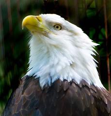 Startled Look (riclane) Tags: bird eyes eagle feathers piercing stare birdofprey torontozoo naturesfinest nikonstunninggallery superbmasterpiece avianexcellence wowiekazowie