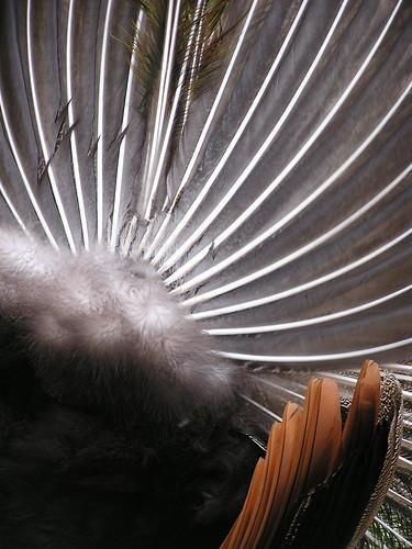 Peacock 'Tocks 4