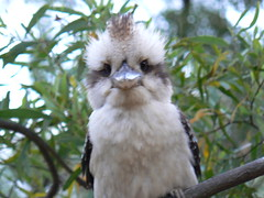 Young Kookaburra (ianmichaelthomas) Tags: friends birds soe kookaburra kingfishers animaladdiction wildlifeofaustralia animalcraze superbmasterpiece beyondexcellence diamondclassphotographer flickrdiamond worldofanimals auselite poundbendwarrandyte australianwildbirds australiankingfishers flickrlovers vosplusbellesphotos flickrsbestcreatures