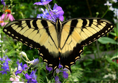 Eastern Tiger Swallowtail (Papilio glaucus) (sojourner photography) Tags: butterfly texas soe upcloseandpersonal inmygarden naturesfinest easterntigerswallowtailpapilioglaucus