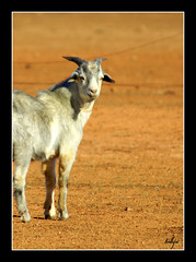 Billy (fotofantasea) Tags: travel portrait orange white nature animals closeup composition fence landscape nose grey bravo dof bokeh wildlife horns australia ears roadtrip goats frame newsouthwales outback 88 hoof ambience lightningridge supershot specanimal wildlifeofaustralia auselite