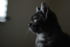 Coco (luns_spluctrum) Tags: cat kitten coco britishshorthair blacksmoke 50mmf18af