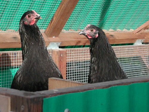 Hen Waller denizens, January 2004