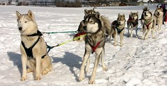 dog sled / huskies (Pierre Metivier) Tags: winter dog snow france alps topv2222 alpes husky topv1111 huskies sled dogsled ancelle hautesalpes