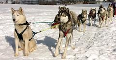 dog sled / huskies (Pierre Metivier) Tags: winter dog snow france alps topv2222 alpes husky topv1111 huskies sled dogsled ancelle hautesalpes
