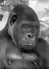 Magilla.... (Goldmanoz) Tags: girls portrait blackandwhite bw cute animals topv111 tag3 taggedout female portraits ilovenature sadness blackwhite eyes tag2 tag1 faces boobs topv222 100views 300views 200views monkeys females cleavage urfavsfaces urfavsbw gorillas 222v2f 85points mireasrealm