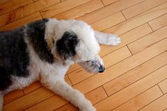 Crosby (Alex Kehr) Tags: wood floor crosby oldenglishsheepdog