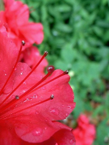 Red Rhododendron #2