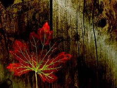 Fallen (Matt West) Tags: wood autumn red brown art fall ilovenature leaf views500 views400