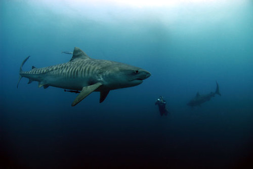 Tiger Sharks and Diver