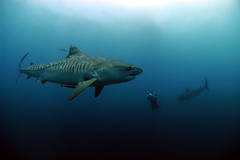 Beauty (Pelagic Drifter) Tags: shark tiger freediving tigershark outstandingshots specanimal animalkingdomelite p1f1 outstandingshotshighlight engagingphotography earthtouchcom