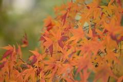 Japanese maple (shizen.shigen) Tags:  japanesemaple acerpalmatum