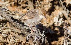 Grey-backed Cisticola (Cisticola subruficapilla) (George Wilkinson) Tags: greybacked cisticola cisticolasubruficapilla goegap nr nature reserve northern cape south africa canon wildlife 7d 400mm
