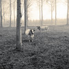 Cows (enneafive) Tags: cows meadow desolate monochrome olympys omd em5