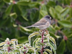 Junco in the ice (piranhabros) Tags: junco sparrow darkeyedjunco bird animal laurel ice icy frozen icestorm december winter