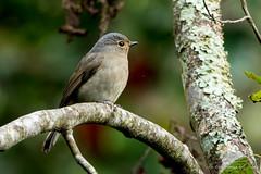 黃腹琉璃(母)-5 (Ah-TaiTai) Tags: 台灣 台中 和平 大雪山 200林道 動物 野外 飛羽 鳥 bird nikon d5500