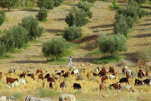 Bedouin with his flock, along King's Highway in Jordan