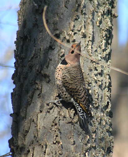 northern flicker male 03