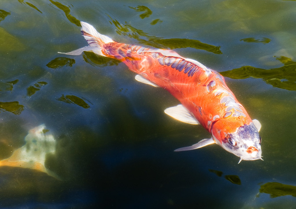 The world 39 s best photos of fish and koi flickr hive mind for The best koi fish