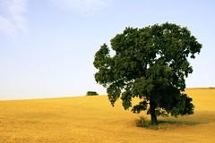 Encina / holm-oak - by Antonio Martínez