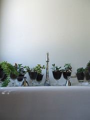 succulent line up (emdot) Tags: succulent sink faucet bb embadge spasanitarium