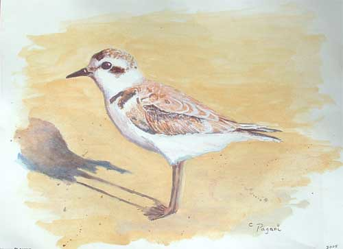 Oregon Shorebirds : Snowy Plover Original Painting