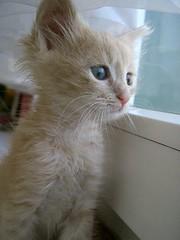 Longing Eyes (Marchnwe) Tags: cats kitten cute cat window eye fur