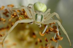 Crab Spider - Misumena vatia (hkkbs) Tags: macro spider nikond70 sweden 100views 400views 300views 200views sverige 500views westcoast crabspider 800views 600views 700views spindel 1000views misumena vatia västkusten misumenavatia thomisidae 900views 1100views sigma180f35ex sigma180mmf35apomacro krabbspindel krabbspindlar
