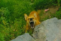 Angry Dog - All bark