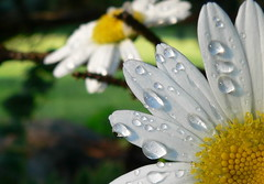 daisy shower