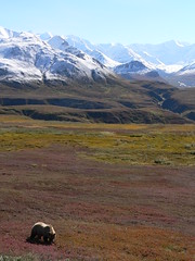 Grizzly Bear in Denali, fall colors - by B Mully