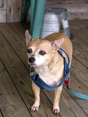 Mr. Weaver's Dog Wags His Tail (Old Shoe Woman) Tags: usa georgia southgeorgia dilosep05 dog chihuahua pet mrweaver dilosept05