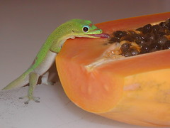 Gecko and Papaya (catbutler) Tags: home gecko interestingness14 explore6 madagascardaygecko abigfave