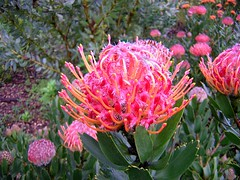 Protea (icelight) Tags: southafrica protea kirstenbosch