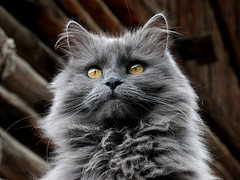 le chat du gte ( - s  ) Tags: animal animals cat grey kat chat top20catpix dieren grijs top40 saintveran gabelous bestofcats boc1007