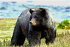 Glacier Bear - Glacier Bay National Park (Belltown) Tags: glacierbear bear alaska glacierbaynationalpark sealaska outdoors nature landscape