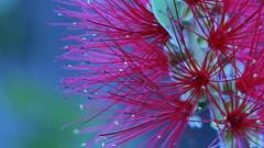 Bottlebrush plant (ghirson) Tags: flower 350d bottlebrush davis 50f18 ccmpclosencounter