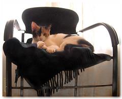 | Neula: The queen  | (arquera) Tags: reina cat mascot friend feline animal chair manipulation arquera image neula gata gato mascota amiga felino silla casa manipulacin imagen home catwomen