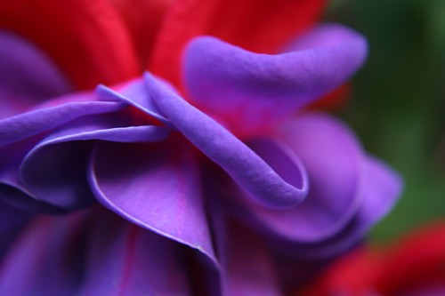 Fuchsia close up Variation